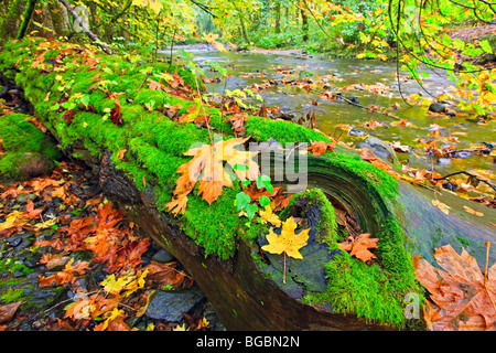 Fallen tree covered in lush green moss and golden leaves during fall along the banks of the Goldstream River in - Stock Photo
