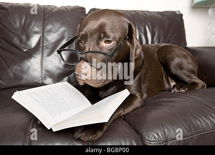 Funny Shot of a Chocolate Labrador with a Good Book on the Sofa - Stock Photo