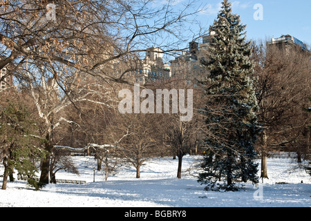winter scene in snow covered Central Park with beautiful blue spruce & Fifth Avenue buildings screened by trees - Stock Photo