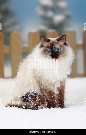 Neva Masquarade / Siberian Forest Cat, Siberian Cat, Siberia, Neva Masquerade - Stock Photo