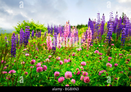 Purple and pink clover and garden lupin wildflowers in Newfoundland - Stock Photo
