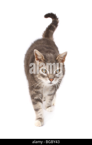 A studio photograph of an old male cat. - Stock Photo