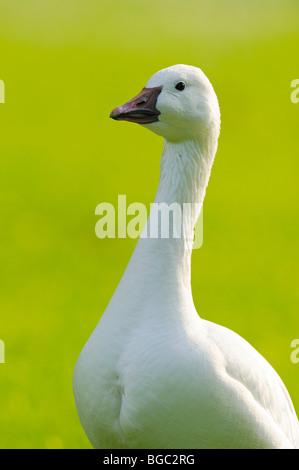 Domestic goose (Anser anser f. domestica) - Stock Photo