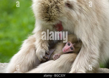 Japanese macaque (Macaca fuscata) mother grooming baby monkey - Stock Photo