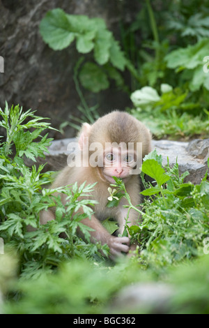 Japanese Macaque (Macaca fuscata) baby playing with flower - Stock Photo