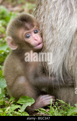 Japanese Macaque baby clinging to mother's fur (Macaca fuscata) - Stock Photo