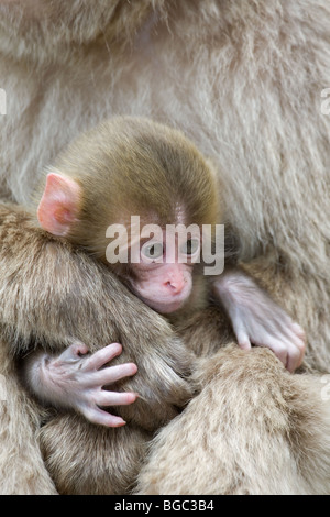 Japanese Macaque (Macaca fuscata) baby clinging to mother's hand Stock Photo