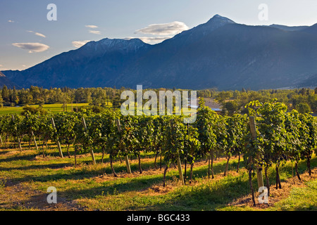 Rows of grapevines growing at a vineyard in the Similkameen River Valley along Highway 3 (Crowsnest Highway), Okanagan - Stock Photo