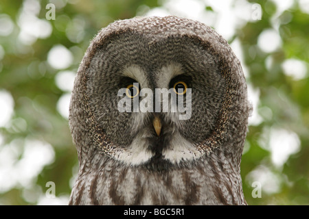 Great Gray Owl (Strix nebulosa), portrait - Stock Photo