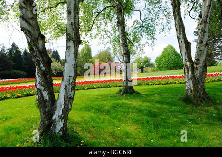 Birches, with bed of tulips in Killesbergpark, Stuttgart, Baden ...