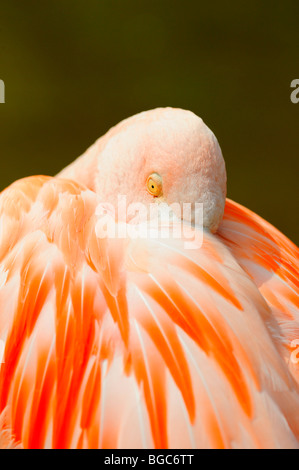 Greater flamingo (Phoenicopterus ruber roseus) - Stock Photo