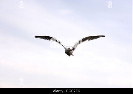 Herring Gull (Larus argentatus), flying - Stock Photo