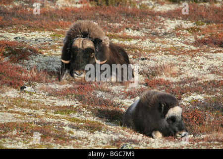 Adult Musk Ox and calf in relaxed position in Dovrefjell national park, Norway. - Stock Photo