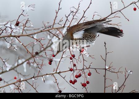 Fieldfare Turdus pilaris taking berry - Stock Photo