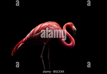 flamingo standing on two legs - Stock Photo