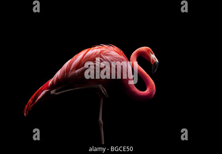 flamingo standing on one leg - Stock Photo
