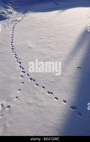 Animal tracks in fresh snow. Copper Mountain, Colorado, USA. - Stock Photo