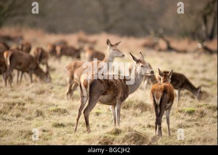Red deer hinds (Cervus elaphus) in Richmond Park, London - Stock Photo