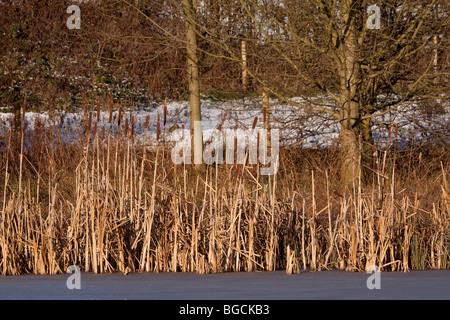 Bull rush rushes bullrush bullrushes reeds pond ponds for Winter pond plants
