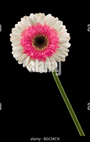 white and pink gerbera isolated on black - Stock Photo