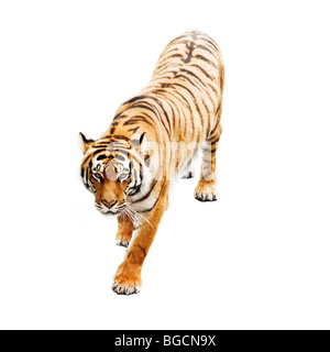 tiger isolated on white - Stock Photo