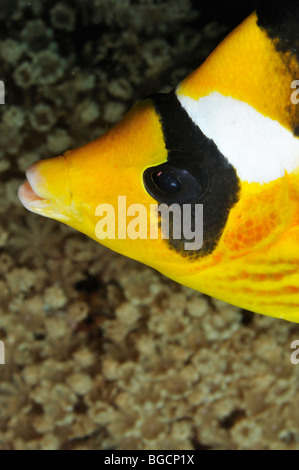 Head of 'Red Sea' 'Raccoon Butterflyfish' (Chaetodon fasciatus) - Stock Photo