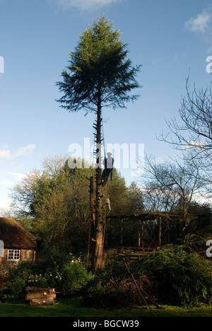 Felling of a fir tree with a tree surgeon half way up the tree attached with ropes