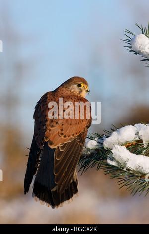 Kestrel Falco tinnunculus perched on snow'y pine - Stock Photo