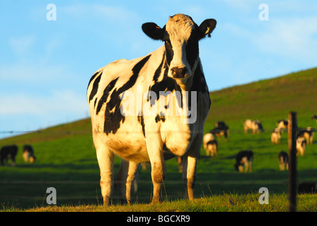 a black and white cow in a green hill field with  herd in background and a blue sky - Stock Photo