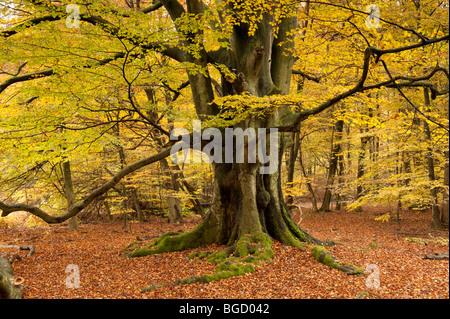 Beech in autumn, nature reserve, Sababurg virgin forest, Reinhardswald, Hofgeismar, North Hesse, Hesse, Germany, - Stock Photo