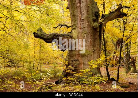 Oak, nature reserve, Sababurg virgin forest, Reinhardswald, Hofgeismar, North Hesse, Hesse, Germany, Europe - Stock Photo
