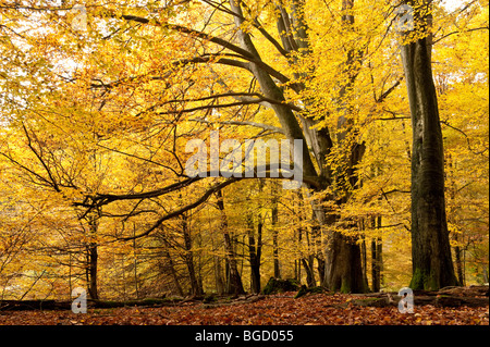 Beeches in autumn, nature reserve, Sababurg virgin forest, Reinhardswald, Hofgeismar, North Hesse, Hesse, Germany, - Stock Photo