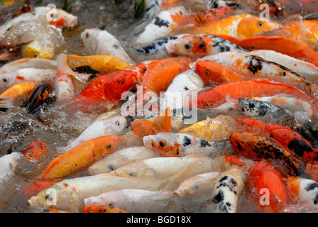 Red, yellow and patterned goldfish (Carassius auratus auratus) in the panda breeding center of Chengdu, Sichuan, - Stock Photo