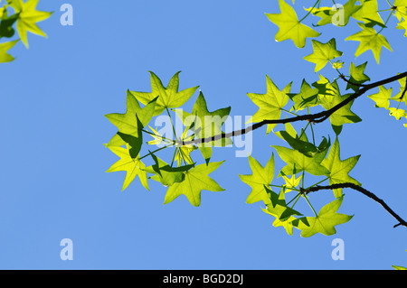 American Sweetgum tree leaves in early spring - Stock Photo