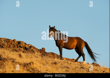 Wild Horse Stallion Equus ferus caballus Nevada - Stock Photo