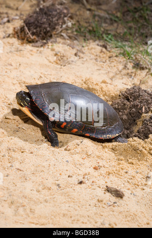 Painted Turtle (Chrysemys picta). Female digging nest hole in the ground. - Stock Photo