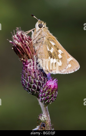 Silver-spotted Skipper (Hesperia comma), Riedener Lake, Lech Valley, Ausserfern, Tyrol, Austria, Europe - Stock Photo