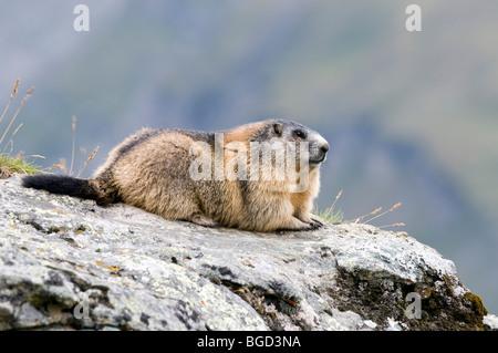 Alpine Marmot (Marmota marmota), Hohe Tauern National Park, Carinthia, Austria, Europe - Stock Photo