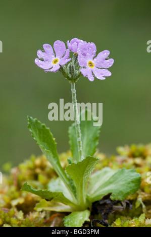 Bird's-eye Primrose (Primula farinosa), Pillberg, Tyrol, Austria, Europe - Stock Photo