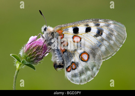 Apollo butterfly (Parnassius apollo), Gran Paradiso National Park, Valle d'Aosta, Italy, Europe - Stock Photo
