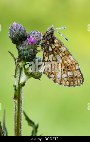 Small Pearl-bordered Fritillary (Boloria selene), Riedener Lake, Lech Valley, Tyrol, Austria, Europe - Stock Photo