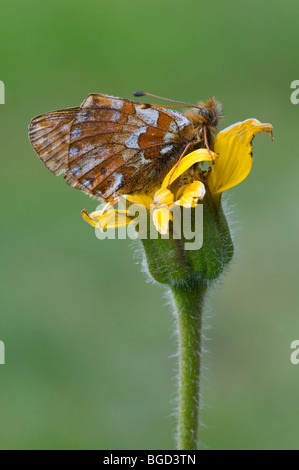 Small Pearl-bordered Fritillary (Boloria selene), Gran Paradiso National Park, Valle d'Aosta, Italy, Europe - Stock Photo