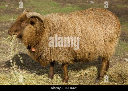 Icelandic sheep, reddish ram, chewing hay at an organic farm - Stock Photo