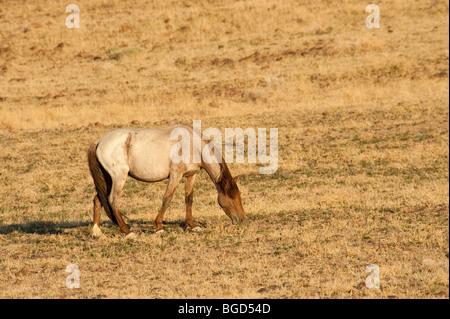 Wild Horse Equus ferus caballus Nevada - Stock Photo