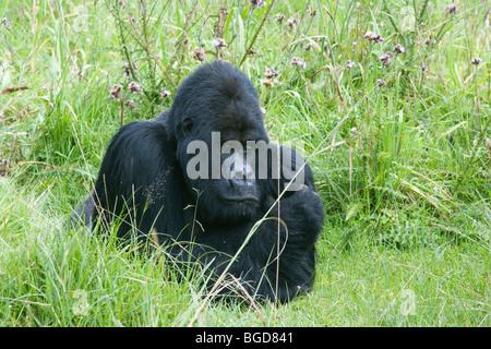 Mountain Gorilla Gorilla berengei berengei Male Rwanda Africa - Stock Photo
