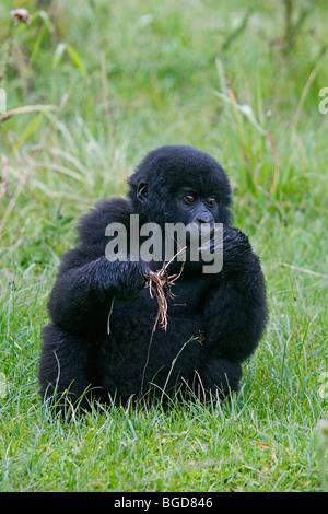 Young Mountain Gorilla Gorilla eating berengei berengei  Silverback  Rwanda Africa - Stock Photo