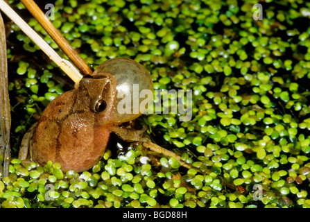 Spring Peeper singing Hyla crucifer Eastern North America - Stock Photo