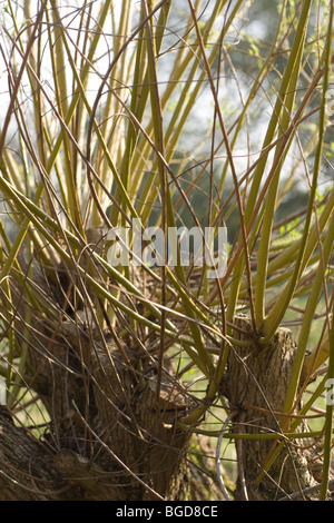 Willow Tree (Salix  sp.). Adventitious shoots and branches growing from a cut trunk. Akin to pollarding. - Stock Photo