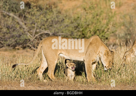 Lion, lioness with cub (Panthera leo), Kgalagadi Transfrontier National Park, Gemsbok National Park, South Africa, - Stock Photo