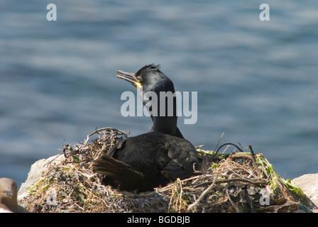 Farne Islands, Northumberland, UK. May. Staple Island. Shag (Phalacrocorax aristotelis) on nest. - Stock Photo